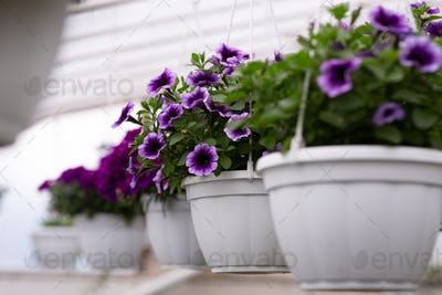 Plant care in modern smart greenhouse and flowers for sale, agriculture and botanical in smart