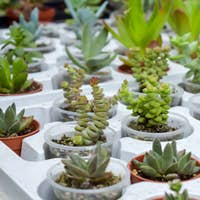 Close up of different varietal agave succulent plants in pots, selective focus. various types of