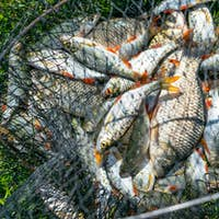 Catch of fish in net basket on green grass by the river. Many roaches on fishing net. Fishing