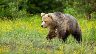 Brown bear walking on blooming meadow in summer nature