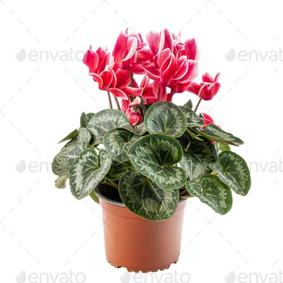 Red and white cyclamen flowers