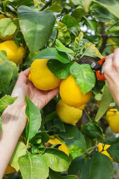 Woman farmer harvesting, picking lemons with garden pruner in hands