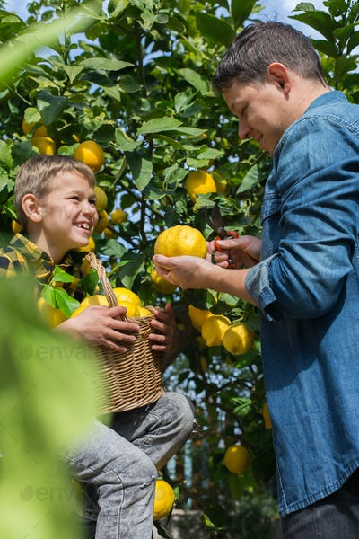 Smiling young man farmer with son harvesting, picking lemons