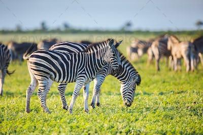 Common Zebras foraging bright colors