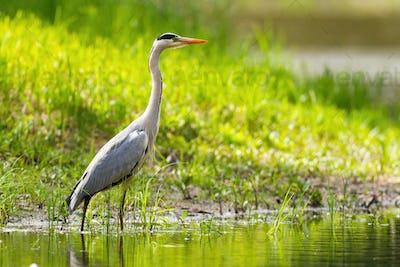 Grey heron standing on riverbank in summer sunlight