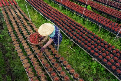 Top view of Vietnamese farmer working with red flowers garden in sadec,