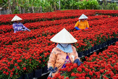 Group of Vietnamese farmers working with red flowers garden in sadec