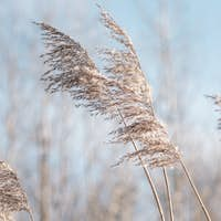 Pampas grass on the lake.