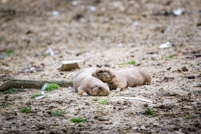 Two baby prairie dogs looking out of their burrow