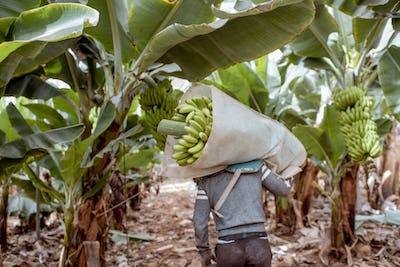 Harvesting on the banana plantation