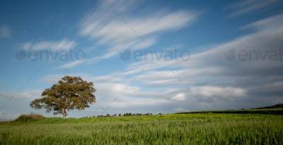 Lonely tree in the green agriculture field and moving clouds. Longexposure landscape