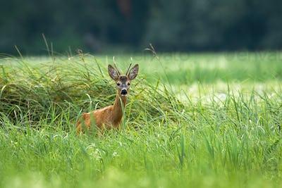 Roe deer standing in long grass in summer nature
