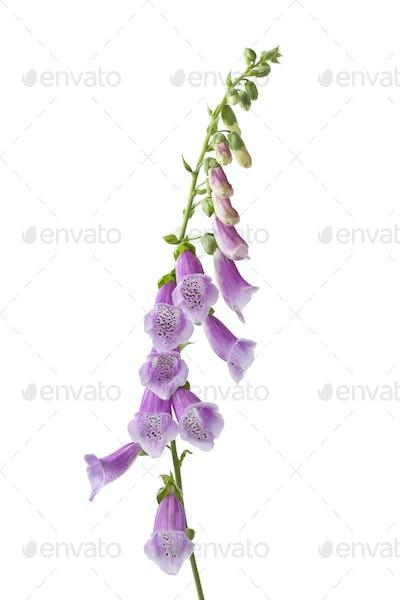 Purple flowering foxglove