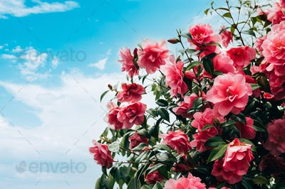 Pink Camellia Tree with Blooming Flowers