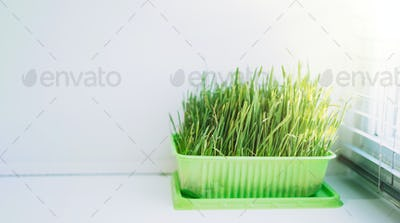 Cat grass for feeding domestic cats on a white windowsill