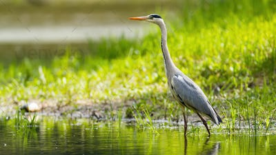Grey heron wading in water with sunlit grass in background