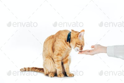 cropped image of woman feeding cute domestic ginger cat isolated on white