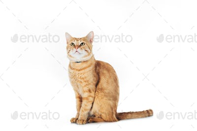 adorable domestic red cat looking up isolated on white