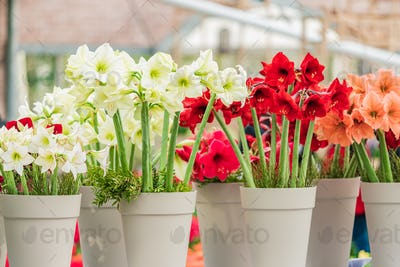 red and white amaryllis flower blooming