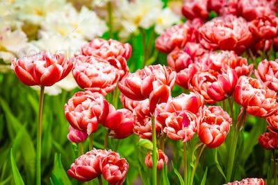 tulips in amazing spring garden detail. Beautiful Spring Flowers.