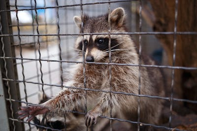 cute little raccoon pulls its paw out of the cage