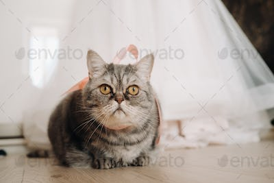 fluffy gray house cat sits on the floor near the wedding dress of the house