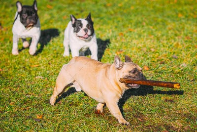 Beautiful Playful Funny French Bulldogs Puppy Dogs Running Playing With Wooden Stick Outdoor In