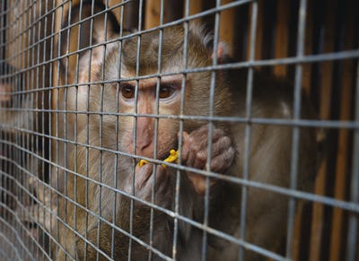 animal abuse. portrait of a sad monkey in a cage
