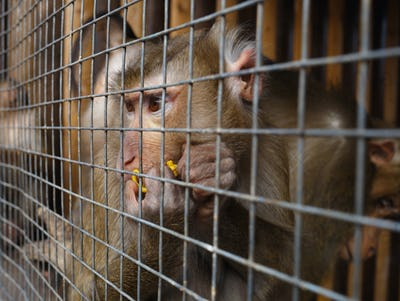 portrait of a sad monkey in a cage
