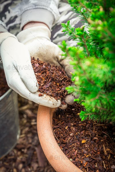 Gardening - Mulching plants with pine bark againts to weeds