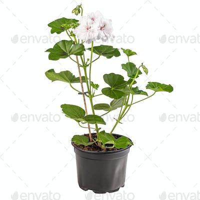 White pelargonium flowers