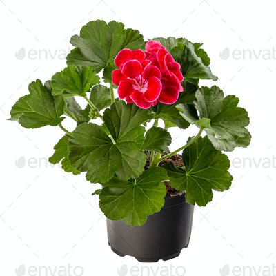 Pelargonium plant with red flower