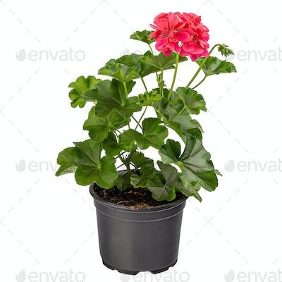 Red pelargonium in flower pot