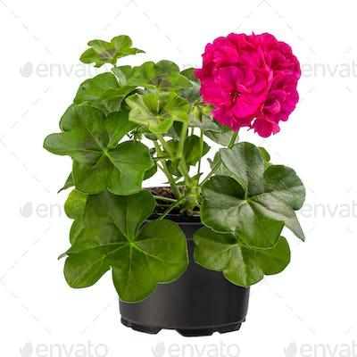 Beautiful pink pelargonium