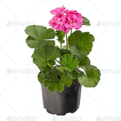 Potted pink pelargonium