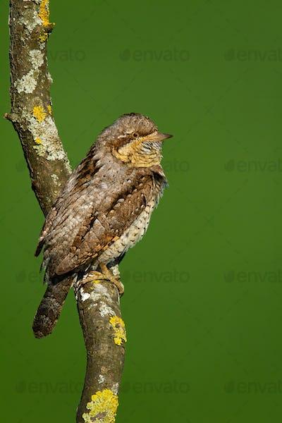 Eurasian wryneck looking on tree in summer in vertical shot