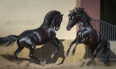 Two black Spanish horses playing together in paddock.