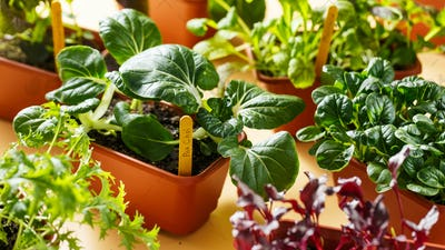Various young organic greens in containers. Selective focus