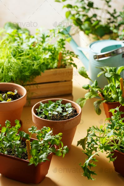 Home growing edible greens and aromatic herbs