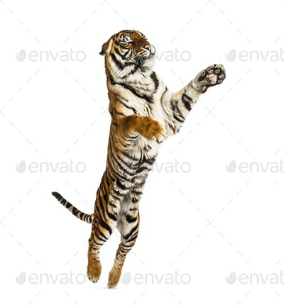 Male tiger jumping, big cat, isolated on white