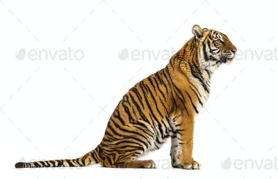 Tiger isolated