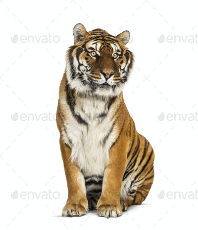 Tiger sitting in front of a white background, big cat