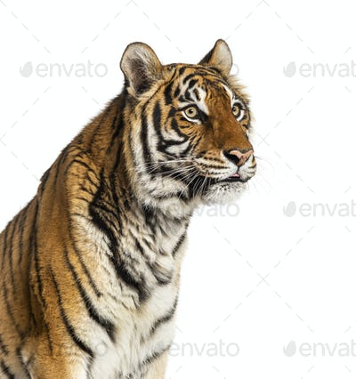 Portrait of a male tiger's head looking away, big cat, isolated