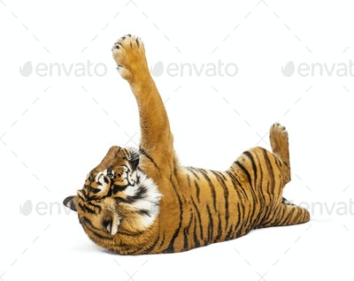 Tiger lying down and playing, big cat, isolated on white