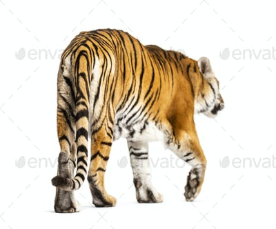 Back view of a tiger walking ok going away, big cat, isolated