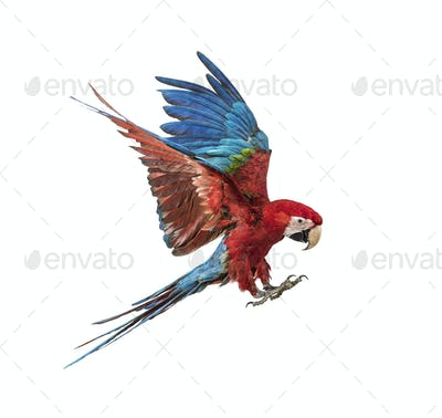 Green-winged Macaw, Ara chloropterus, flying in front of white