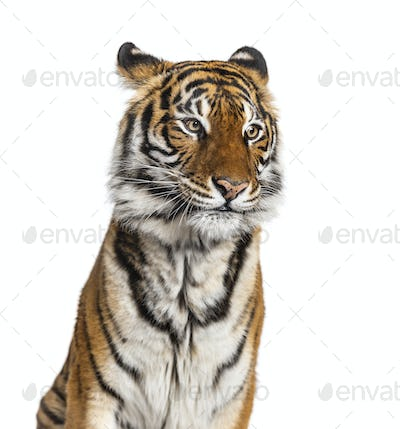 Portrait of a male tiger's head, big cat, isolated on white