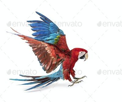 Green-winged Macaw, Ara chloropterus, landing in front of white