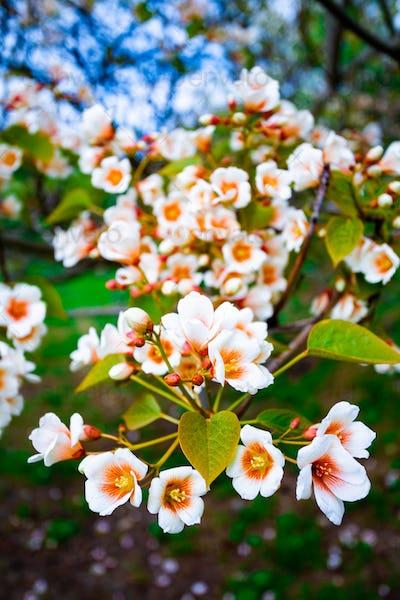 white flowers tree aleurites euphorbiaceae in the spring