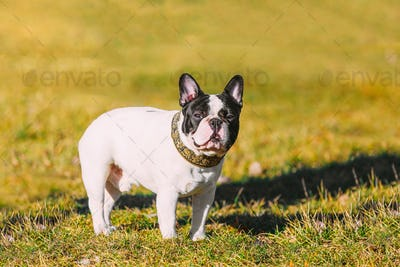 Beautiful French Bulldog Puppy Dog Outdoor In Spring Park